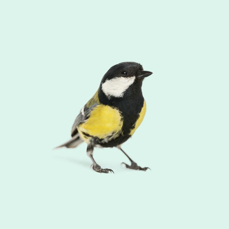 文法を操るシジュウカラ BIRDSTORY バードストーリー