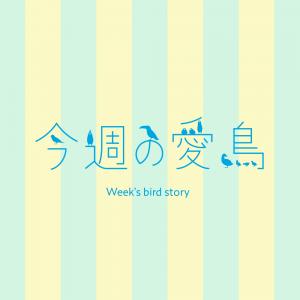 今週の愛鳥
