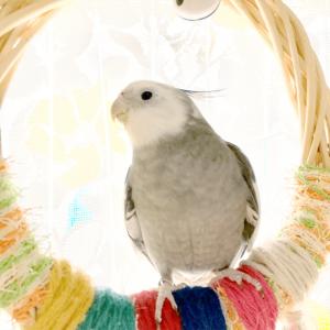 今週の愛鳥 オカメインコホワイトフェイスのアル