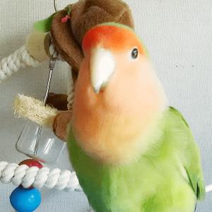 今週の愛鳥 コザクラインコのぴーちゃん