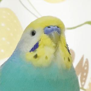 今週の愛鳥 セキセイインコのそーちゃん