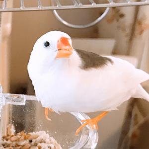 今週の愛鳥 キンカチョウのプーちゃん