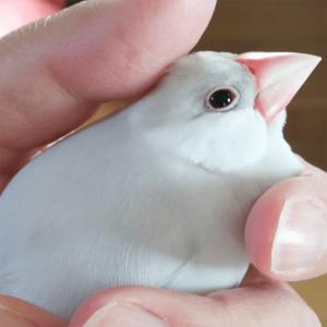 今週の愛鳥 文鳥の福ちゃん