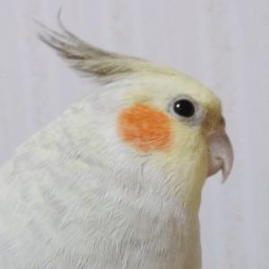 今週の愛鳥 オカメインコのオサムちゃん