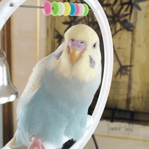 今週の愛鳥 セキセイインコのぽぽ