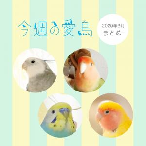 今週の愛鳥まとめ2020年3月