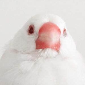 今週の愛鳥 文鳥のスミレ