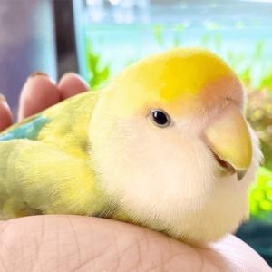 今週の愛鳥 コザクラインコのぴゅり