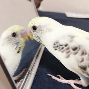 今週の愛鳥 セキセイインコのかいちゃん