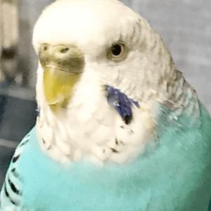 今週の愛鳥 セキセイインコのぴっちょん