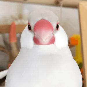 今週の愛鳥 文鳥の文吉
