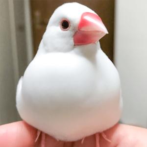 今週の愛鳥 文鳥のまめ bunsistersさん