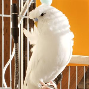 羽衣セキセイインコのソナ 今週の愛鳥