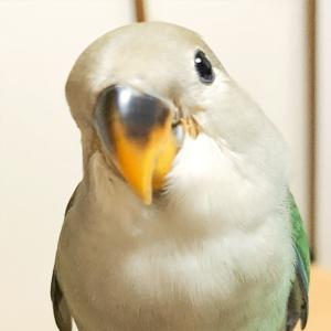 コザクラインコのもっぴ 今週の愛鳥