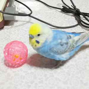 セキセイインコのチーちゃん 今週の愛鳥 リサキチさん