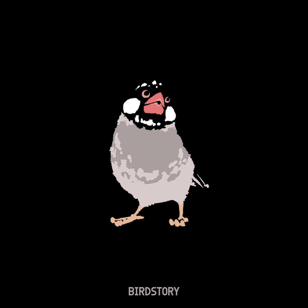 黒の日 桜文鳥 BIRDSTORY バードストーリー イラスト