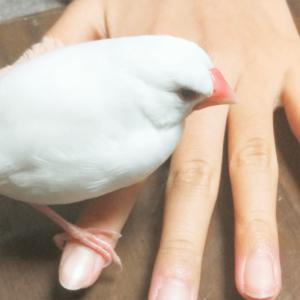 文鳥のゆず ゆぴさん 今週の愛鳥 白ブンチョウ