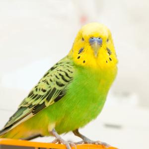 セキセイインコのちぃちゃん いおさん 今週の愛鳥