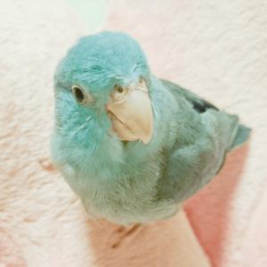 マメルリハのルル 今週の愛鳥 ルルルイ母さん