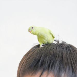 セキセイインコのアキちゃん ざわこさん 今週の愛鳥