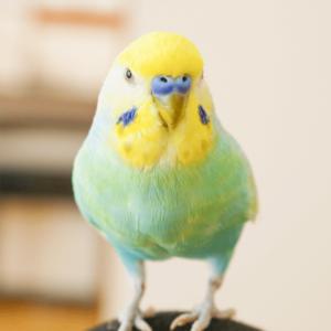 セキセイインコのソラちゃん 今週の愛鳥 ふたさくさん