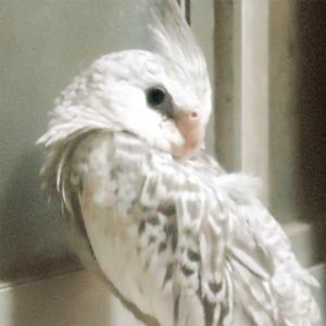 オカメインコのピーちゃん 今週の愛鳥 櫻鳥さん