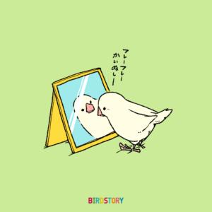 鏡に映る白文鳥 コンパニオンバードチアリーダーズ BIRDSTORY