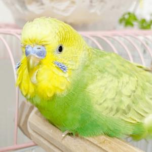 セキセイインコのライムさん エルマーさん 今週の愛鳥