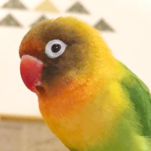 ボタンインコのリコさん りんさん 今週の愛鳥