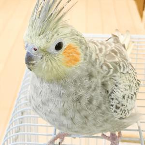 オカメインコの賞ちゃん さっちゃんさん 今週の愛鳥