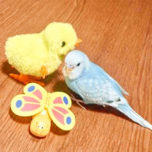 セキセイインコのぴーちゃんさん ママさん 今週の愛鳥