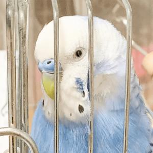 セキセイインコのゆうしちゃん さららさん 今週の愛鳥