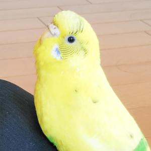 セキセイインコのぴーちゃん おーくんさん 今週の愛鳥