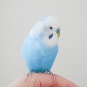セキセイインコのピーちゃん みかんさん 今週の愛鳥
