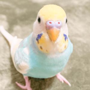 セキセイインコのソラちゃん ポムポムさん 今週の愛鳥