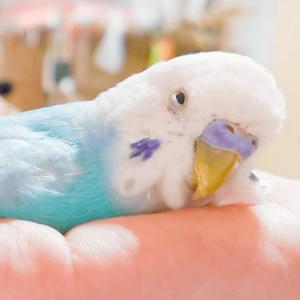 セキセイインコの縁さん トリスキー・コジレタさん 今週の愛鳥