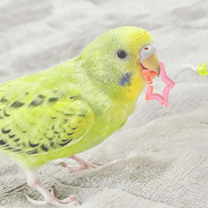 セキセイインコのちよちゃん りおさん 今週の愛鳥