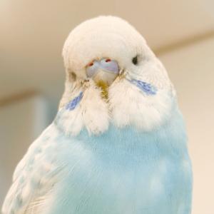 セキセイインコのぷぅちゃん mayuuさん 今週の愛鳥