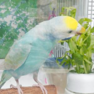 セキセイインコのライムさん Seiranさん 今週の愛鳥