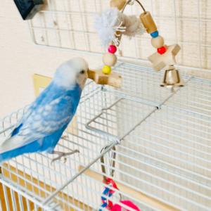 セキセイインコのタロさん ミドさん 今週の愛鳥