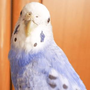 セキセイインコのつくねさん 今週の愛鳥 さゆさん