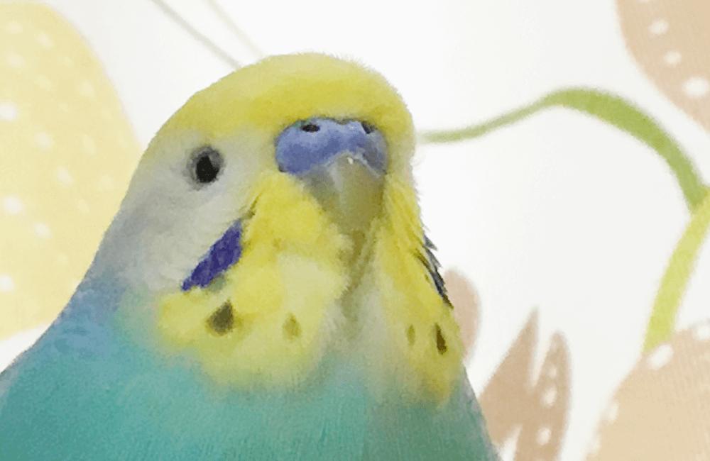 今週の愛鳥 セキセイインコのそーちゃん BIRDSTORY