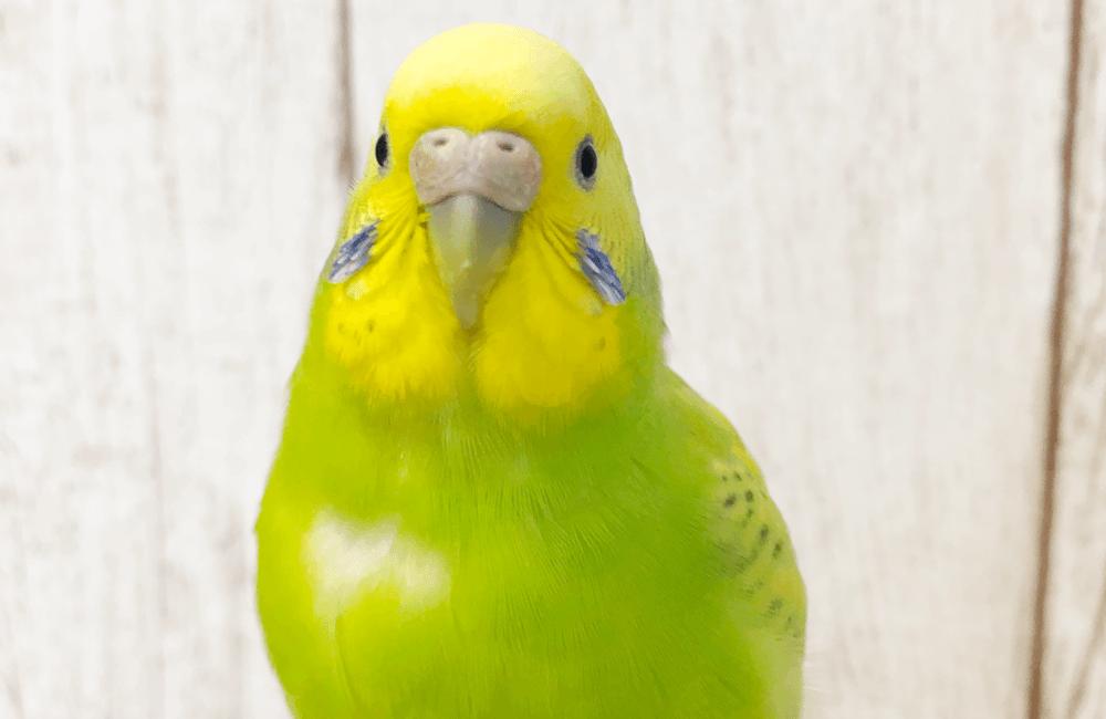 今週の愛鳥 セキセイインコのささ BIRDSTORY